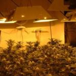 iarba_cannabis