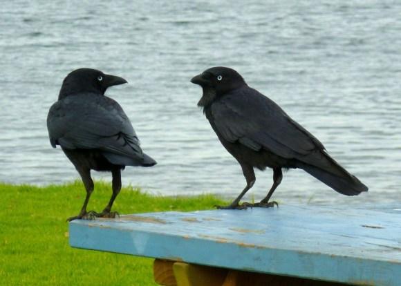 ravens-236333_1280