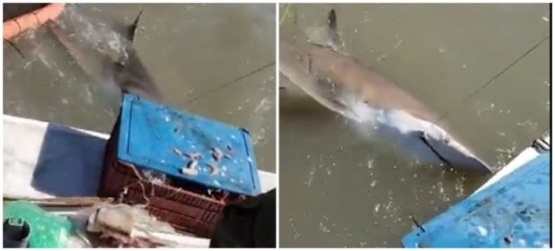 Indignación en las redes por el video en que dos hombres capturan a un tiburón y lo rematan de un tiro