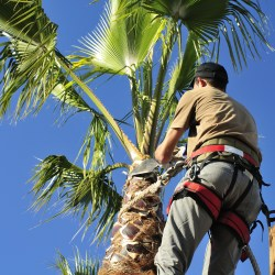Commercial Arborist Pruning A Palm Tree During Fall Maintenance For Commercial Properties