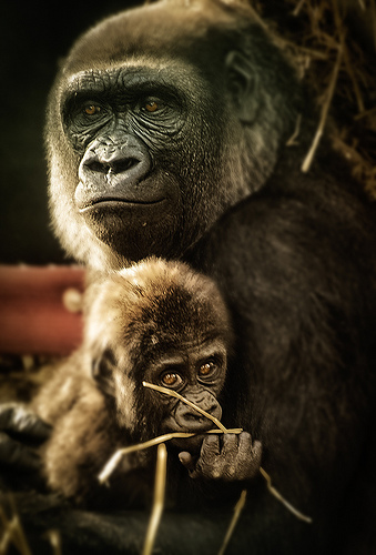 """My mom"" - mother gorilla with baby gorilla"