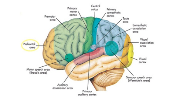 Physiology Brain Diagram - DIY Enthusiasts Wiring Diagrams •