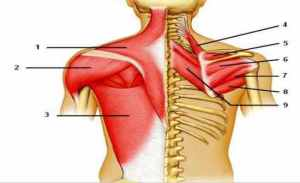 Label Muscles of the Posterior Shoulder Flashcards by ProProfs