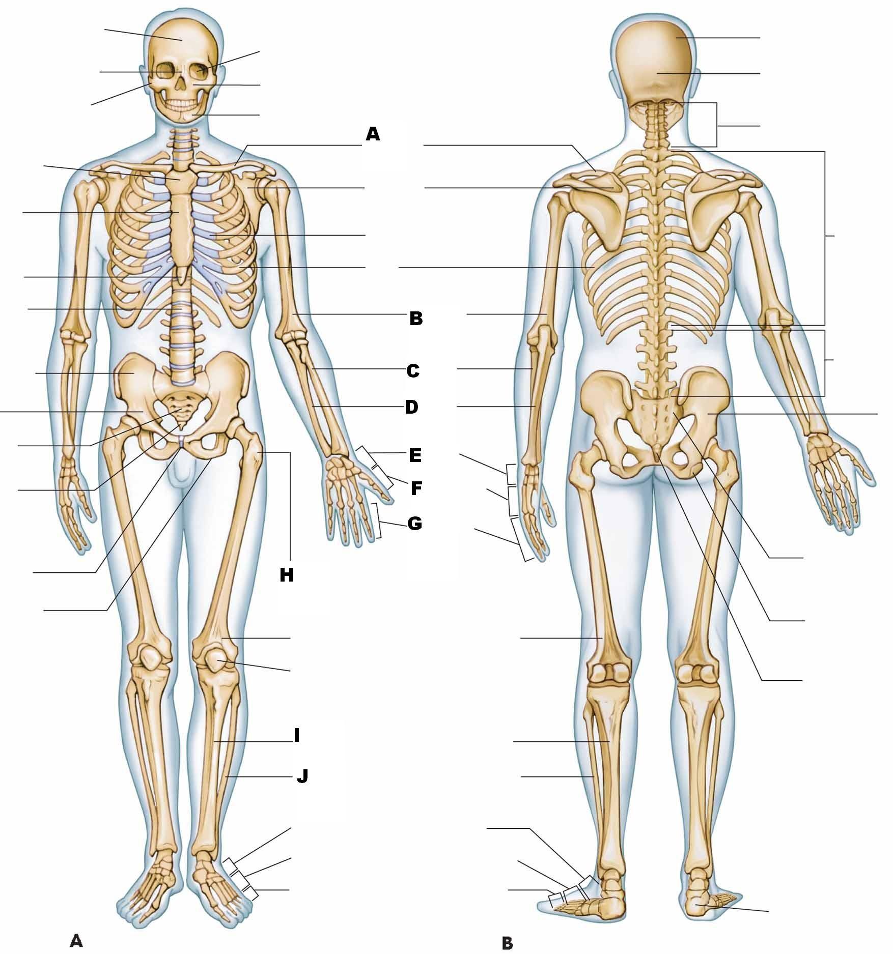 Anatomy And Physiology I Test Iii