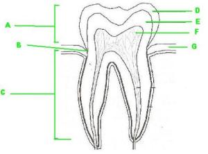 Label The Parts Of The Tooth  ProProfs Quiz