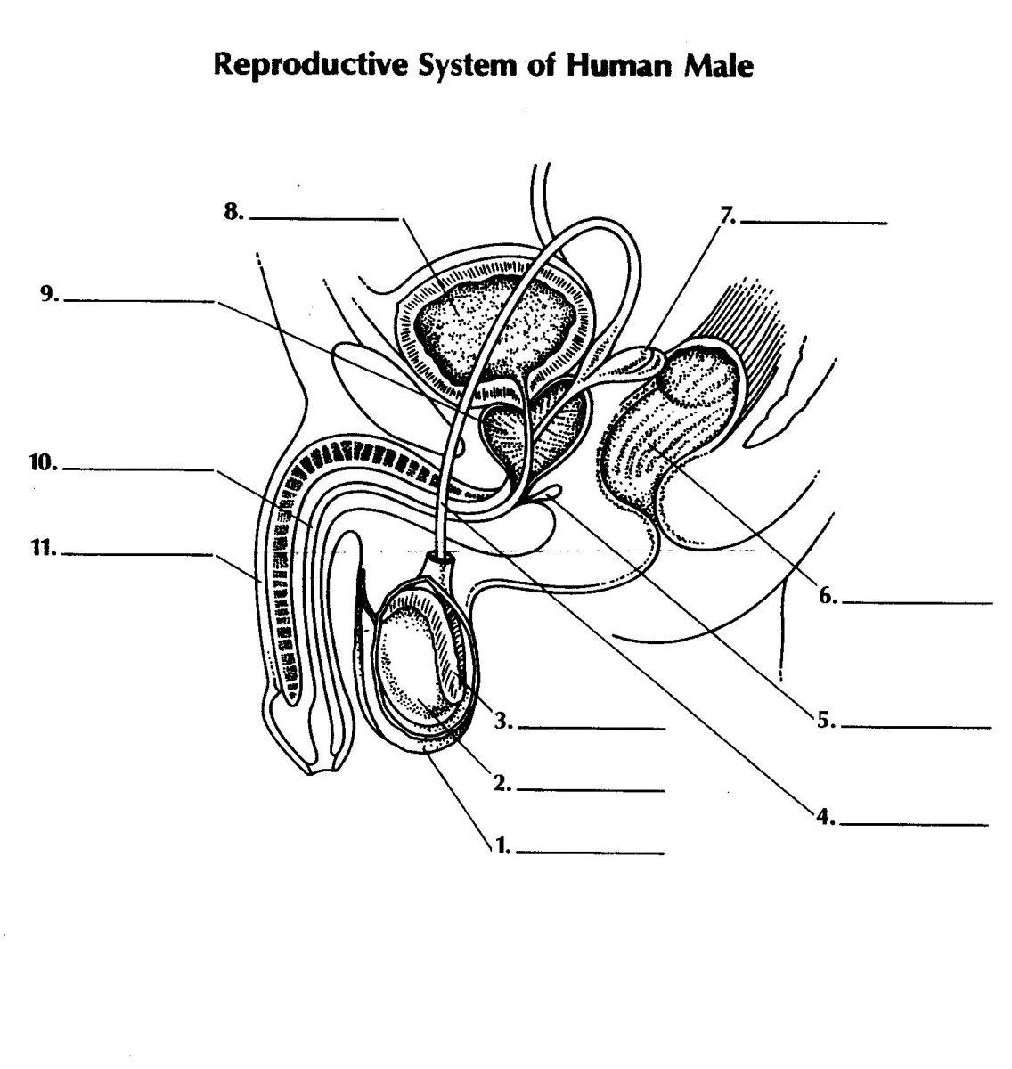 Diagram Quiz On Reproductive System