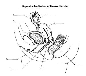 Reproductive System Of Female  ProProfs Quiz