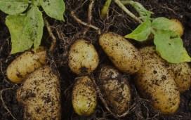 Image result for potassium potato field