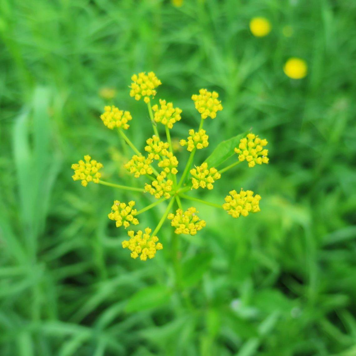 Yellow-Flower-20180618