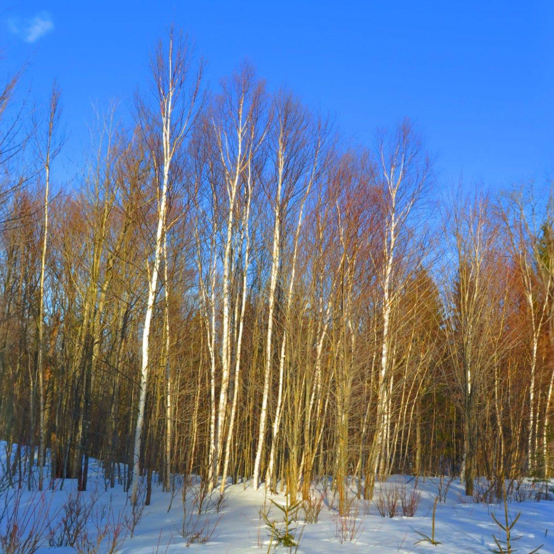 Cabot-Birches-20190320