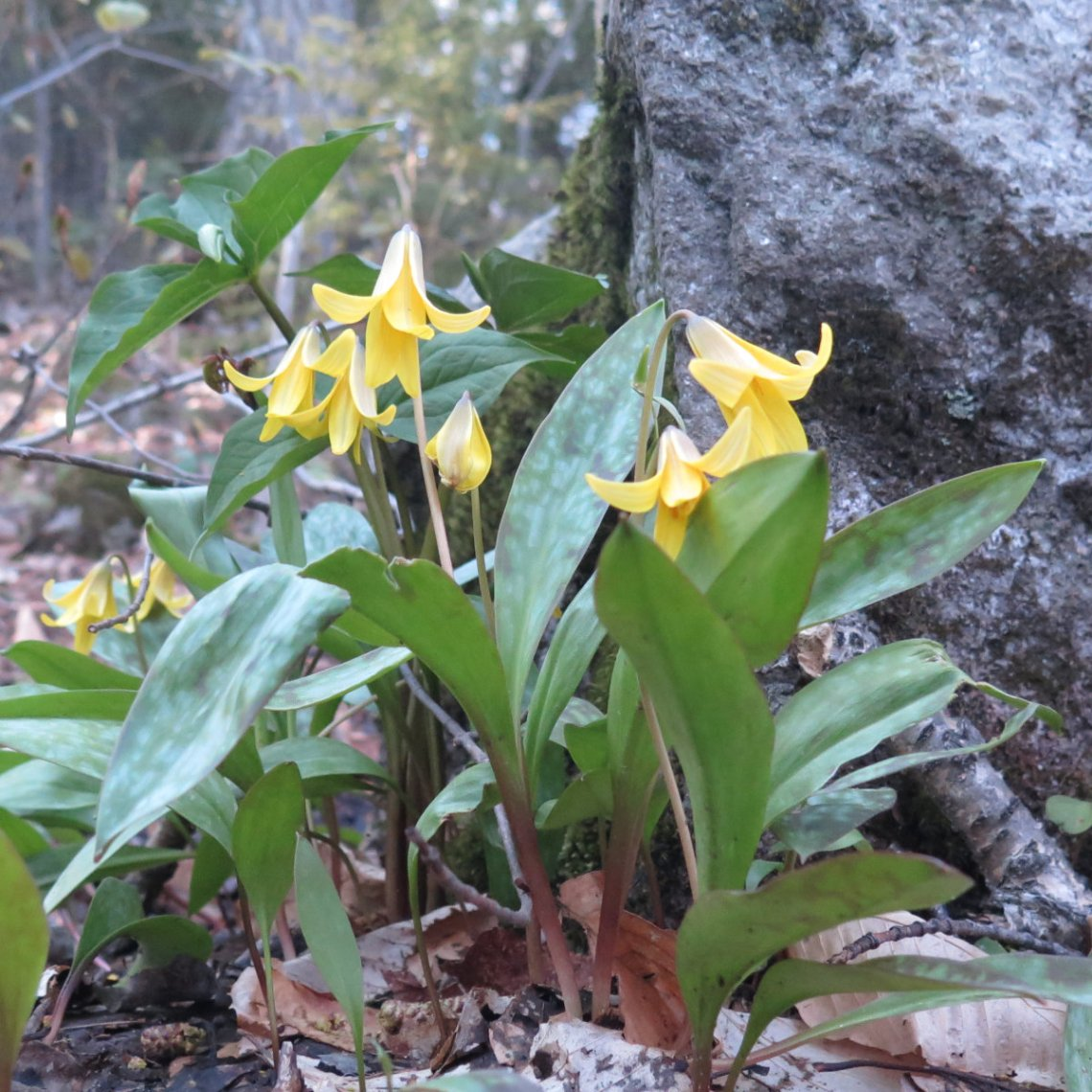 Tecumseh-Trout-Lilies-20190522