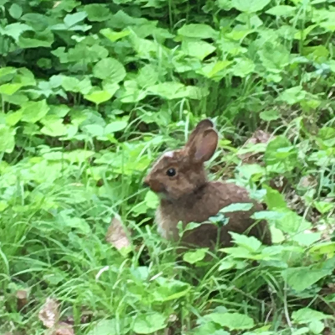 Cottontail rabbit that didn't automatically run off at the first sign of a human.