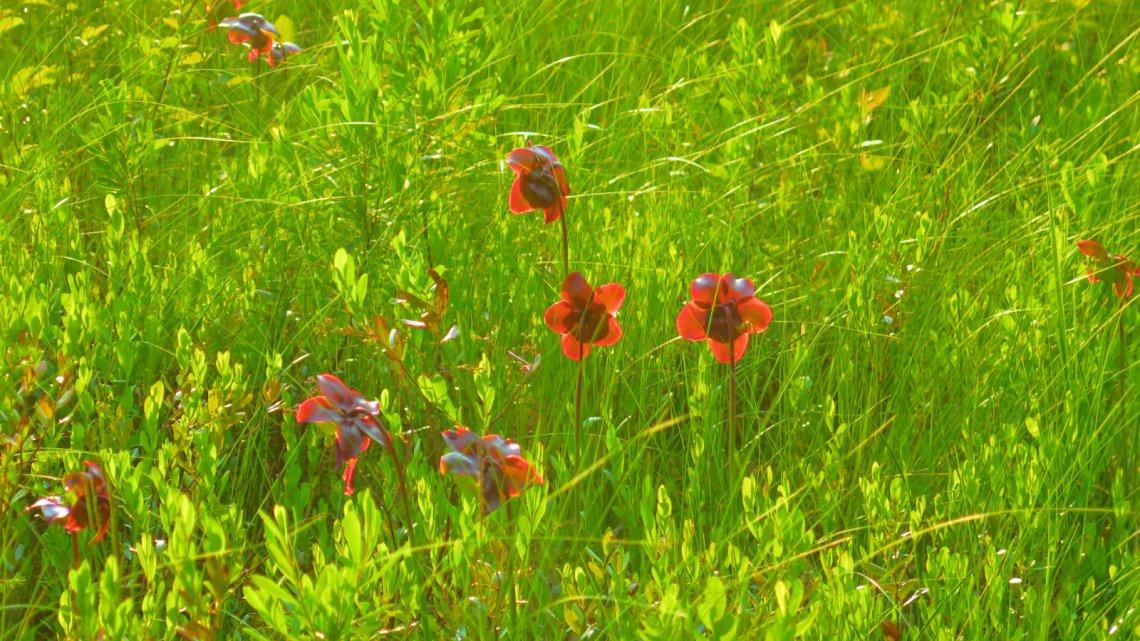 Swamp-Rose-Grassy-Pond-BSP-20190704