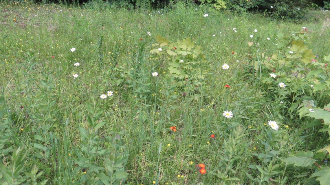 Wildflowers-Roaring-Brook-BSP-20190705