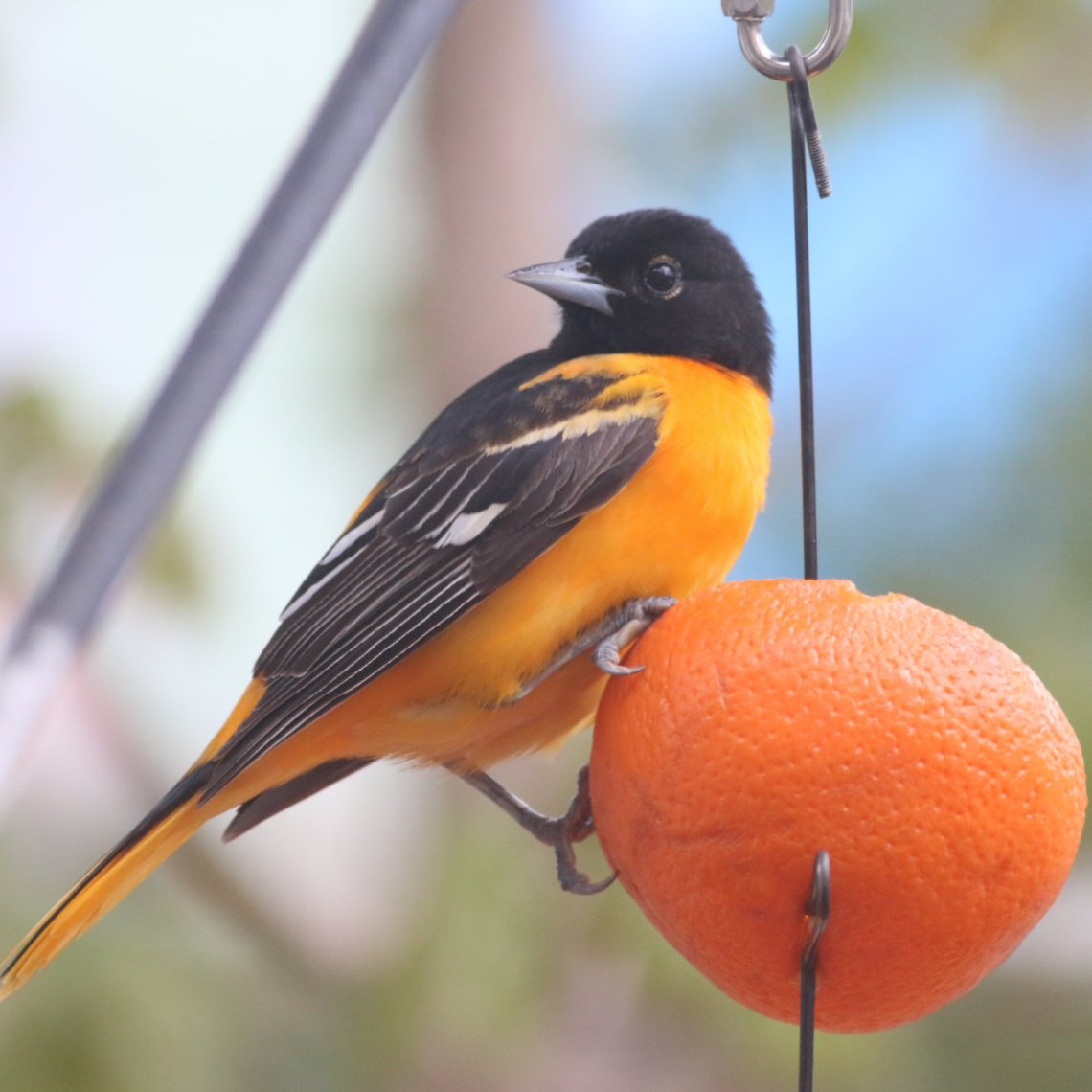 Male Baltimore Oriole perched on an orange slice.