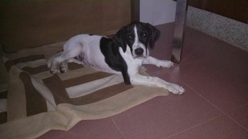 Valentina Pointer en adopcion en Sevilla