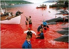 Faroese Boys In Bloody Waters