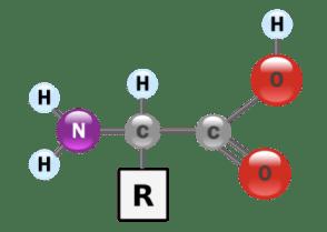 Diagram of Amino Acid