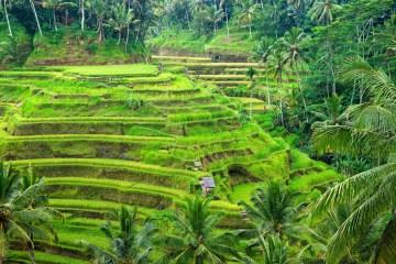 Ubud, Bali, Indonesien, Reisterrassen