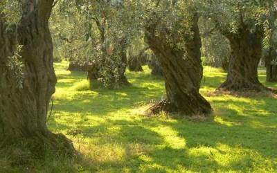Harvesting Olives … Pressing your own oil