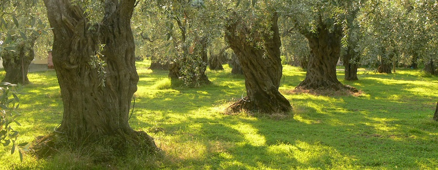 Harvesting Olives … Pressing your own oil