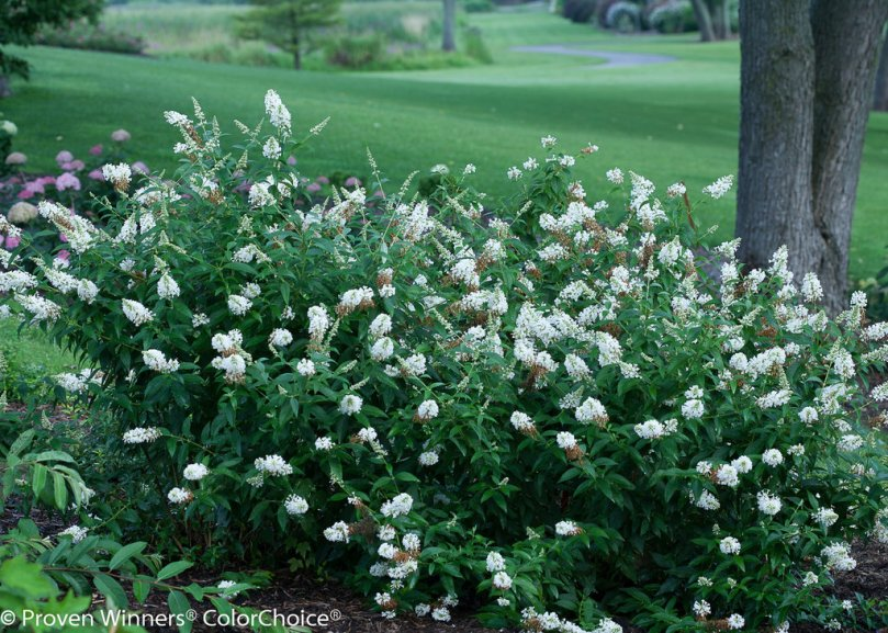 Image result for snow white butterfly bush
