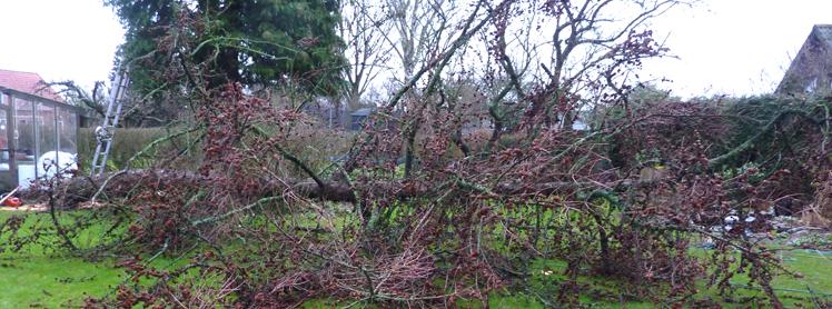 Er dit træ i risiko for at vælte i storm