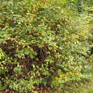 Californisk gedeblad i levende hegn