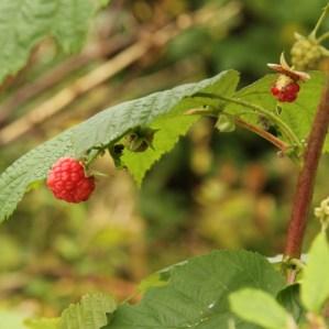 Hindbær i plantevalget