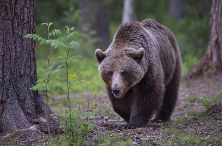 Risultati immagini per orso bruno