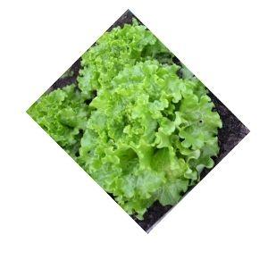 Salade batavia Bio d'Alsace