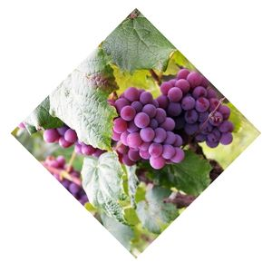 raisin rosé Bio d'Alsace