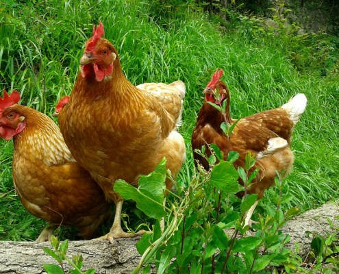 Alimentació per gallines de casa