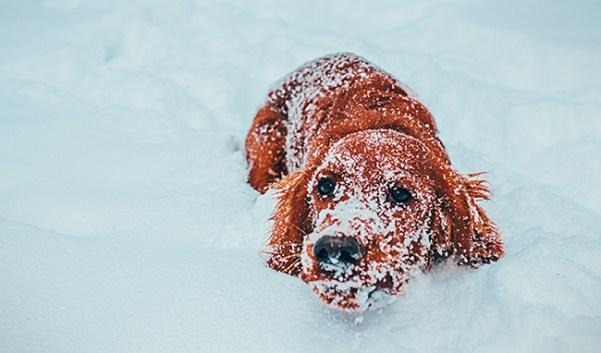gos-en-la-neu