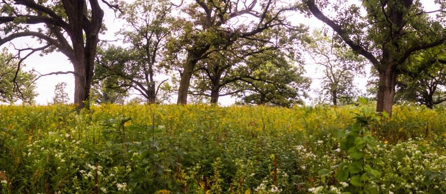 Iowa's Native Giants: Restoring an Oak Savanna Ecosystem