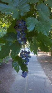Beatiful grapes as shared by Pseudomyxoma Survivor Karen