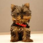Yorkshire Terrier (Yorkshire Terrier)