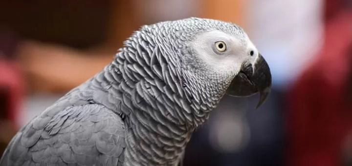 Gri Papağan Neden Yok Oluyor?