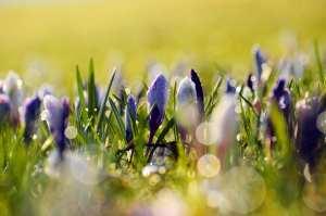 spring flowers purple