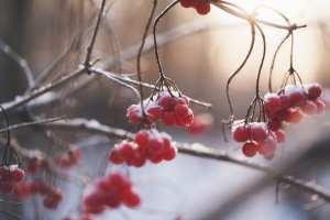 berries snow winter