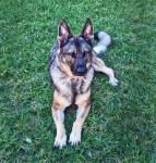 Iris, a German Shepherd, in the grass