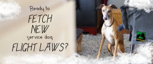Graphic with text. Picture: With a cloud-like border, a tan Italian Greyhound sits on gray shag carpet and alertly looks at the camera with flopped-over, but perked ears. A mostly green Psychiatric Service Dog Partners logo is on the chair to the dog's right. Text: Ready to FETCH NEW service dog FLIGHT LAWS?