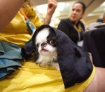 In a picture taken at lap level, a small black and white dog with a very smushed face lies on the lap of someone wearing a yellow dress at a tableclothed dining table. A black napkin is draped over the dog's head as she calmly looks out from it into the distance as if she had on a cloak.