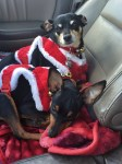 In a car seat and on a red blanket, two small mostly black dogs with tan markings lie against each other while looking at the camera. They're both wearing red collars with silver and brass jingle bells, plus fuzzy red sweaters with fuzzier white trim.