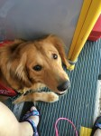 With the camera pointed downward between two colorfully sandaled feet, a golden retriever in a red vest looks up with an expression of casual but sincere attention from the striated black rubber floor of what appears to be a bus with a yellow bar and bulkhead panel immediately behind the dog.