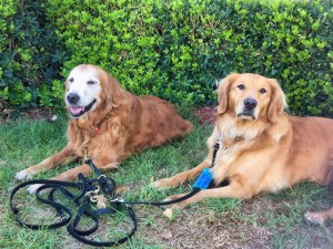 Two red golden retrievers lay on grass with green bushes behind them. One has a very white face. They are both smiling and looking at the camera.