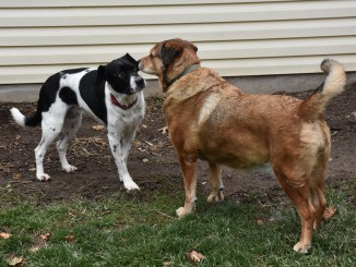 Two dogs, one a retired therapy dog and the other a therapy dog in training, look at each other.