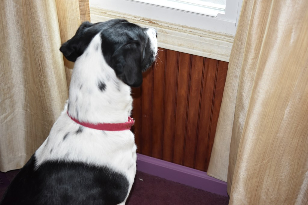 Emma, a therapy dog in training, looks out a window.