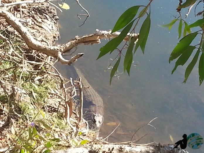 Fresh water crocodile arnhe m land