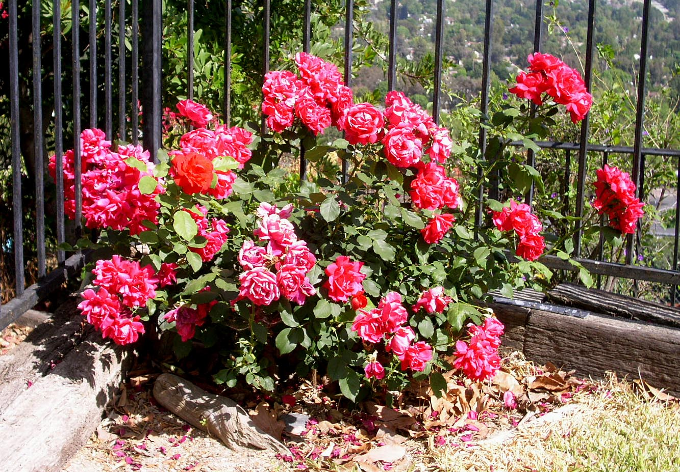 Form Amp Character Roses Are Perennial Shrubs Or Vine Deciduous Or Evergreen Ranging From